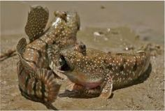 ikan geolodok