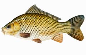 ikan-mas-cryprinus-carpio